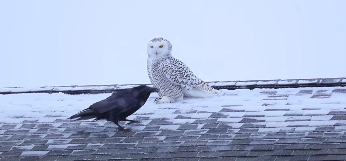 На видео попало, как ворона издевается над совой в США