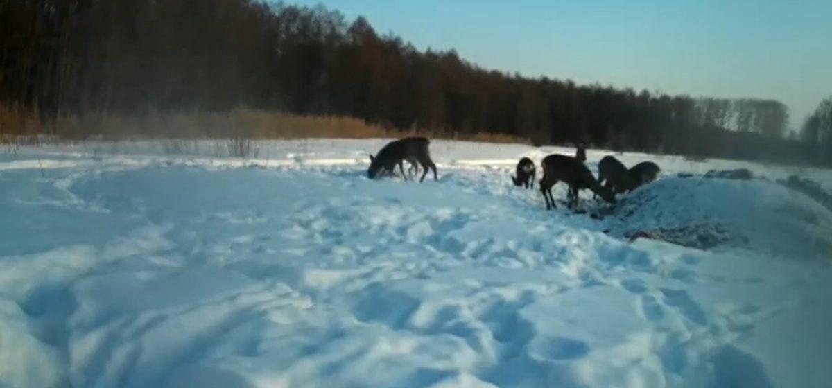 Как зимой кормят диких животных под Барановичами. Видео с тепловизора и фотоловушек