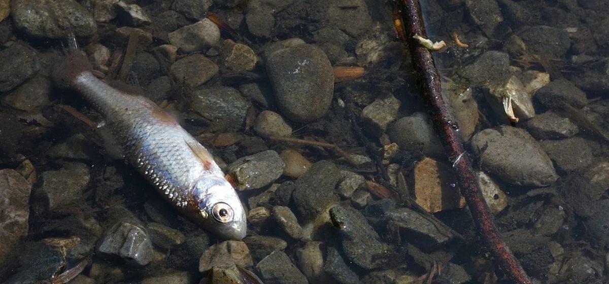 Мор рыбы в Ляховичском районе. Погибло несколько тысяч мальков