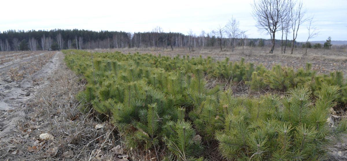 Барановичский лесхоз приглашает всех желающих принять участие в высадке леса