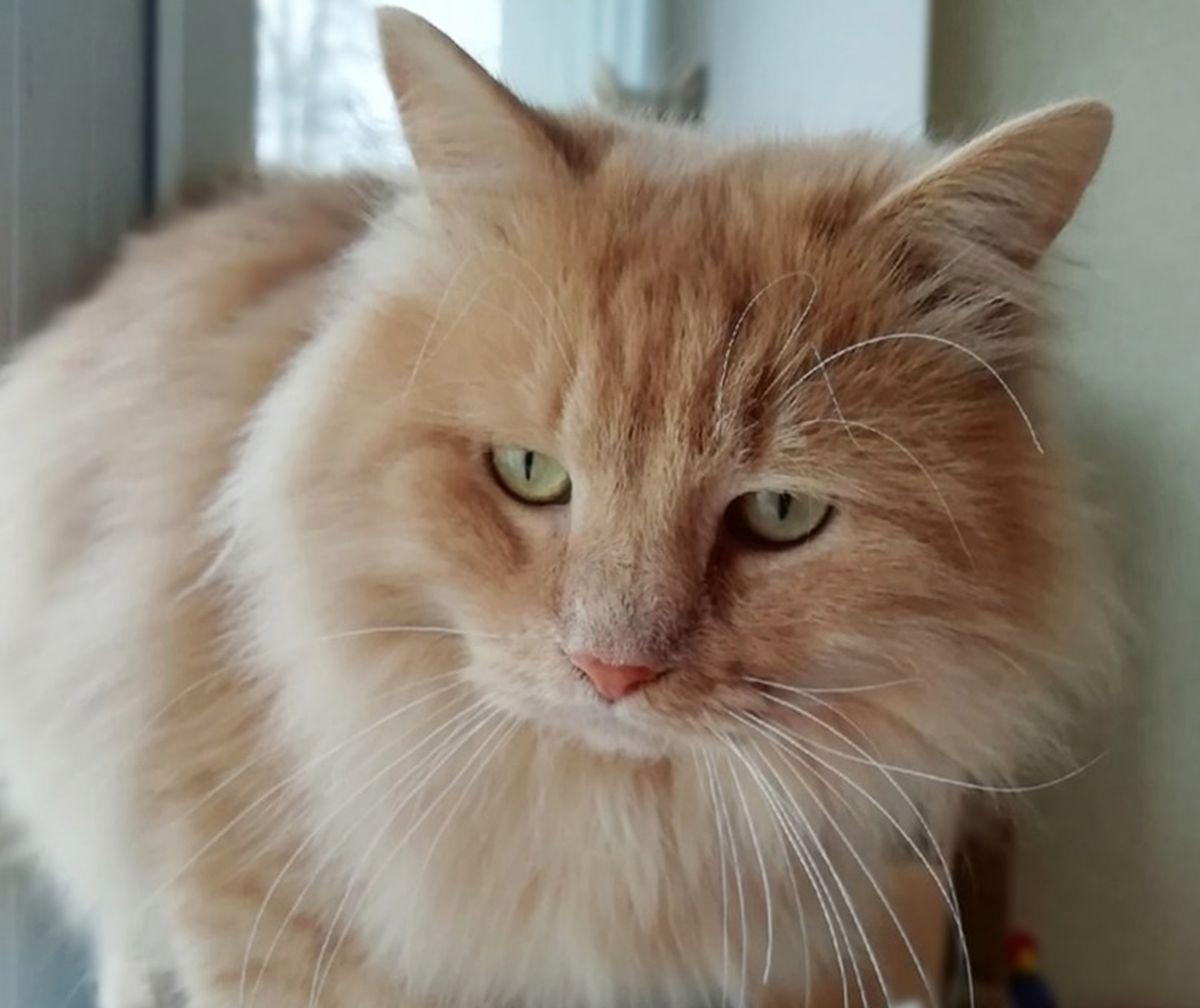Кот Август очень пушистый и ласковый. Если вы любите тискать котов, то он станет для вас лучшим вариантом. Фото: Людмила ШИБУТ