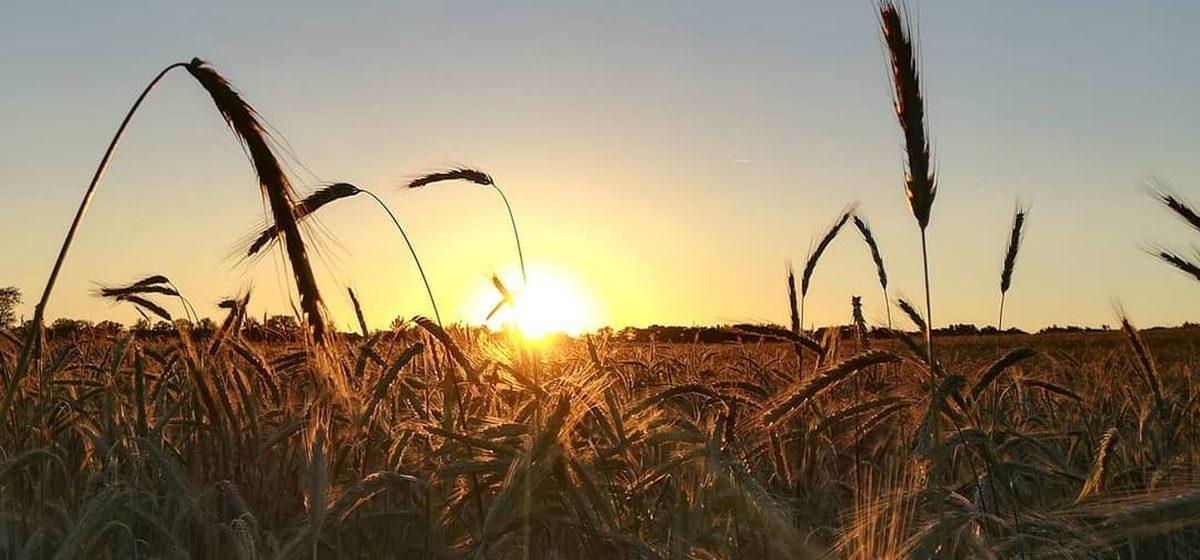 Пшеницу, рожь и другие злаковые временно запретили вывозить за пределы Беларуси