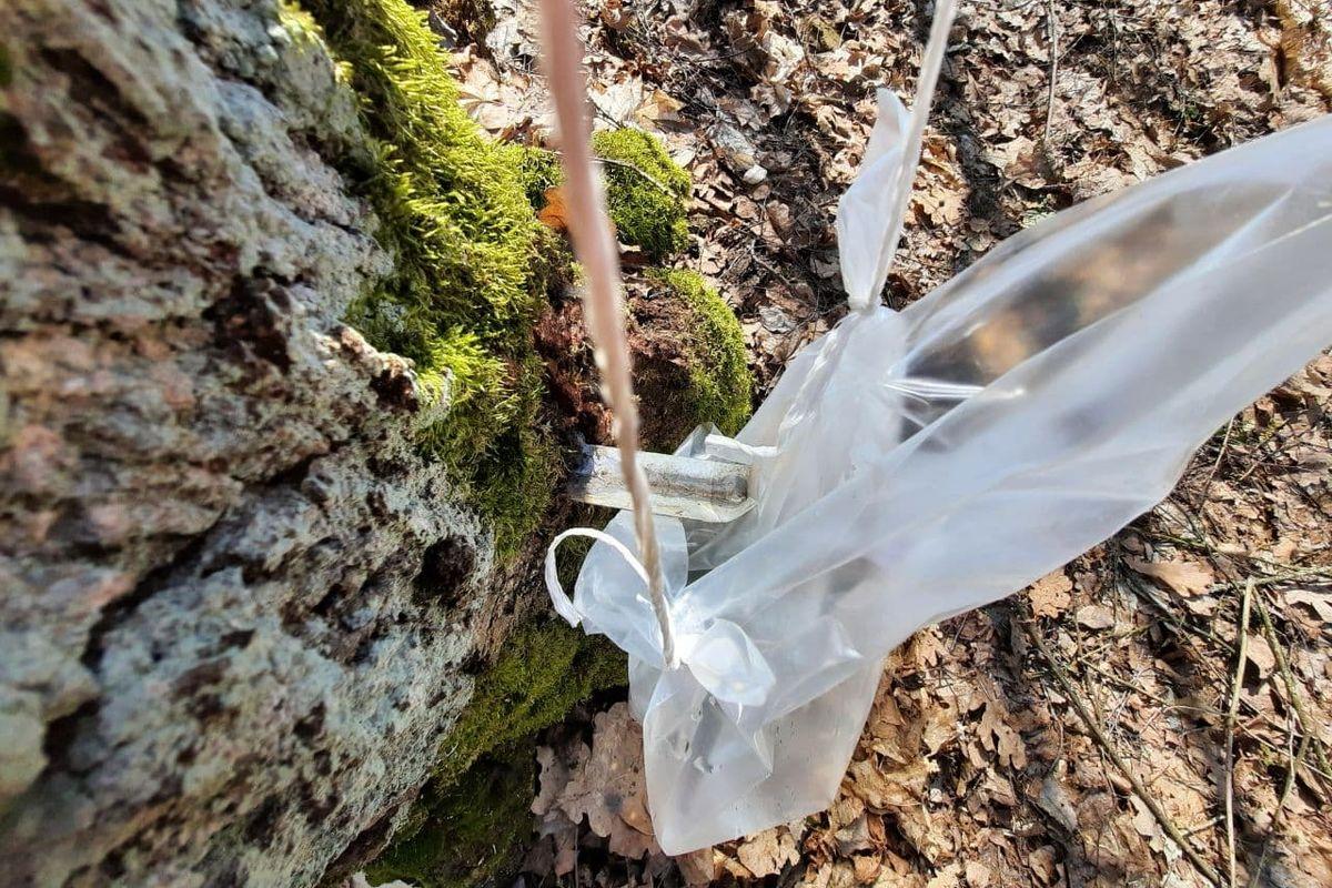 Сбор сока в мешок на делянке в Городищенском лесничестве. Фото: Александра РАЗИНА