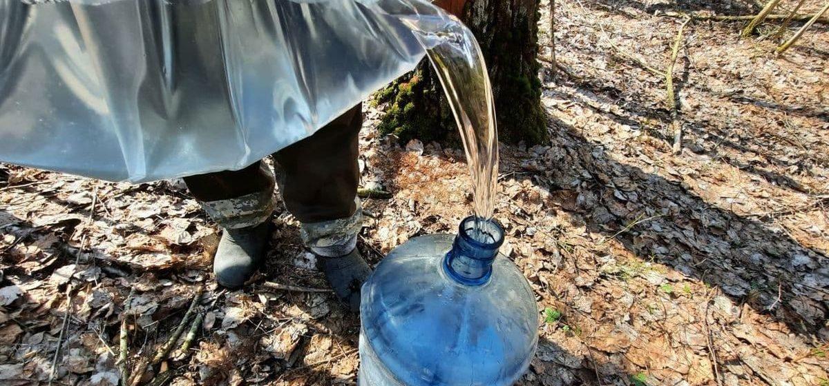 «Вода стоит дороже». Как я ездила в лес покупать березовый сок