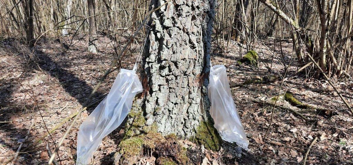Сколько тонн березового сока уже собрали в Барановичском лесхозе