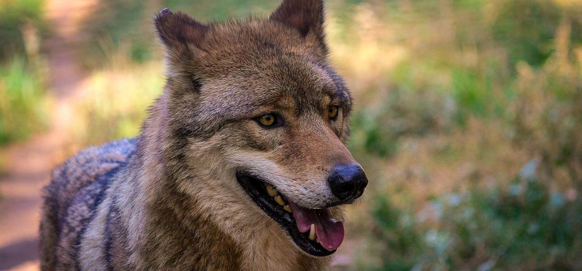 Волчонок забежал во двор сельчанки и полез в птичник в Ивацевичском районе
