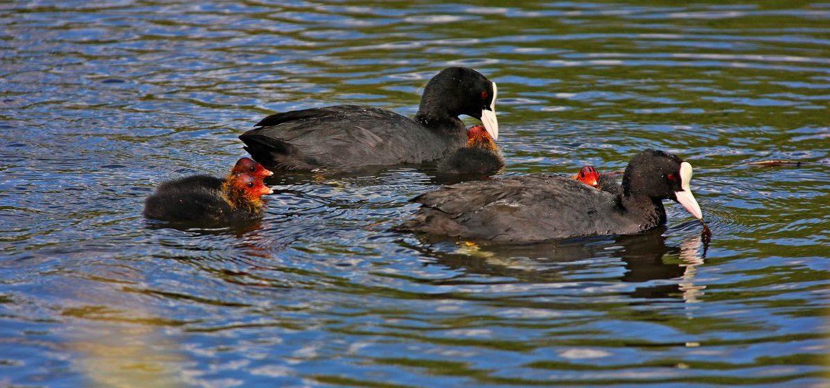 Необычные птицы поселились на водоеме в Барановичах. Фотофакт