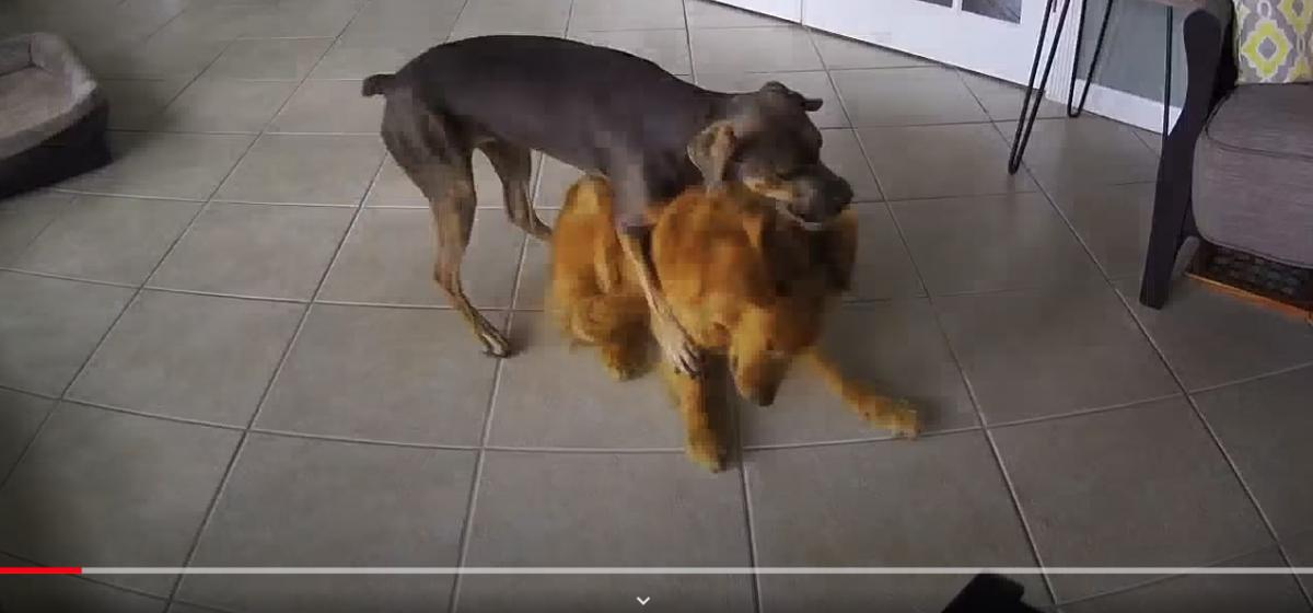 В США собака научилась останавливать эпилептические припадки другого пса. Глаза на мокром месте через 3, 2, 1… (видео)