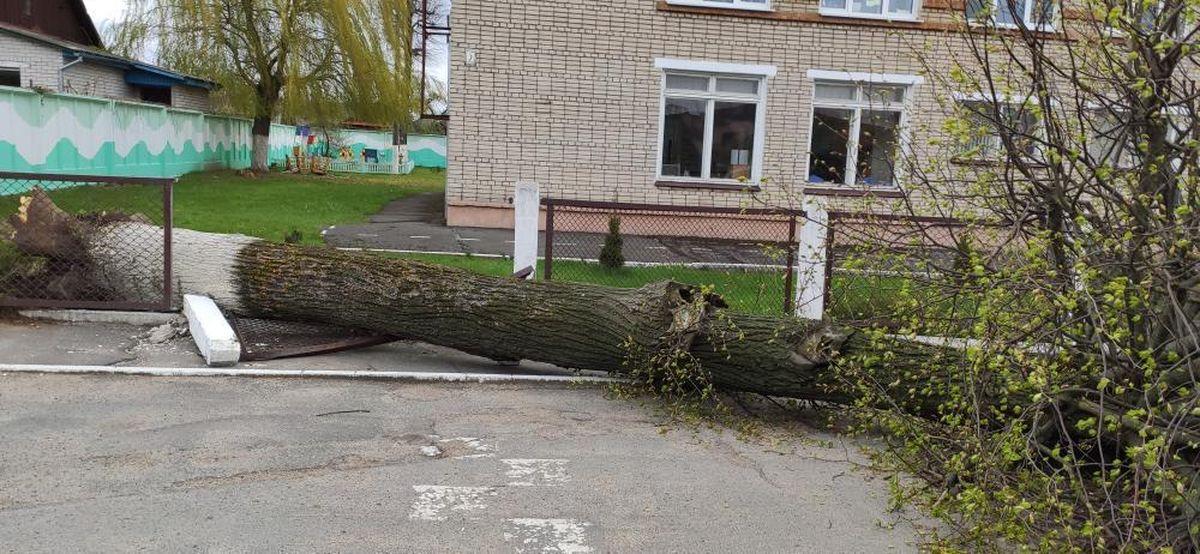 Дерево упало на территории детского сада из-за сильного ветра в Барановичах. Фотофакт