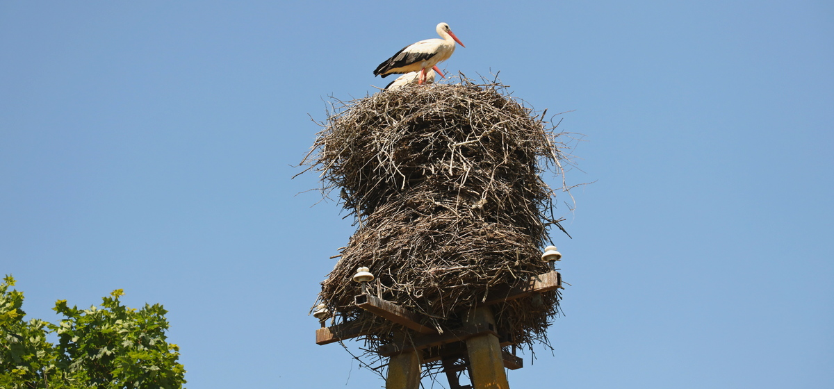 Как сельчане отстояли гнездовья аистов на столбах линий электропередачи в Барановичском районе