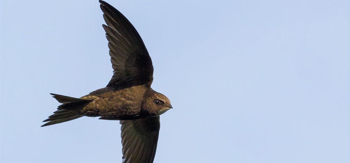 Вы нашли стрижа: как помочь птице и почему ее нельзя подбрасывать к небу