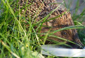 В чем виноваты ежи? Три случая бешенства животных зарегистрировано в Барановичском регионе