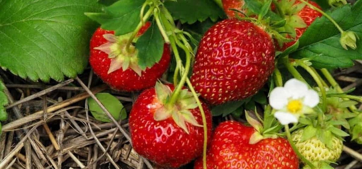Подкармливают ли клубнику во время плодоношения?