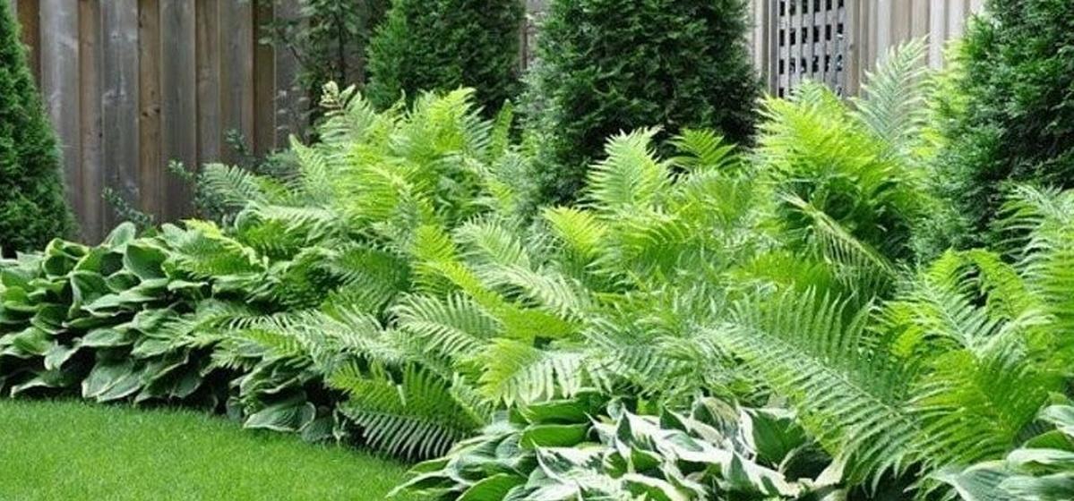 Что посадить в тени у забора: ТОП-6 растений для любителей хвойных и лиственных культур