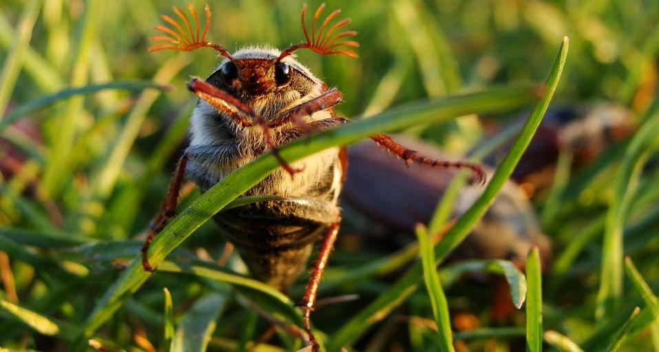 В Беларуси в этом году практически нет майских жуков. Что случилось?