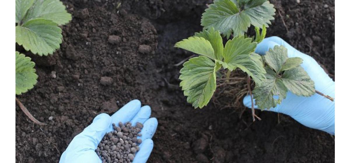 Сад-огород. Какую подкормку использовать для томатов и клубники и чем можно заменить натуральные удобрения