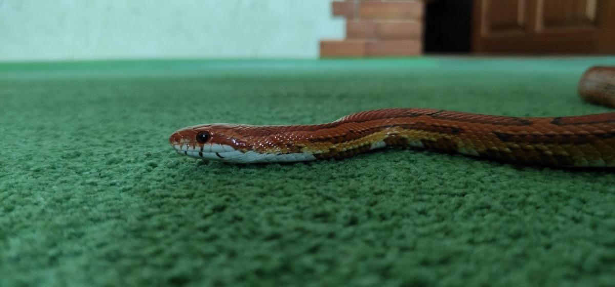 «Представить не могла, что в квартире будет жить змея». Владельцы рептилий – о своих необычных питомцах