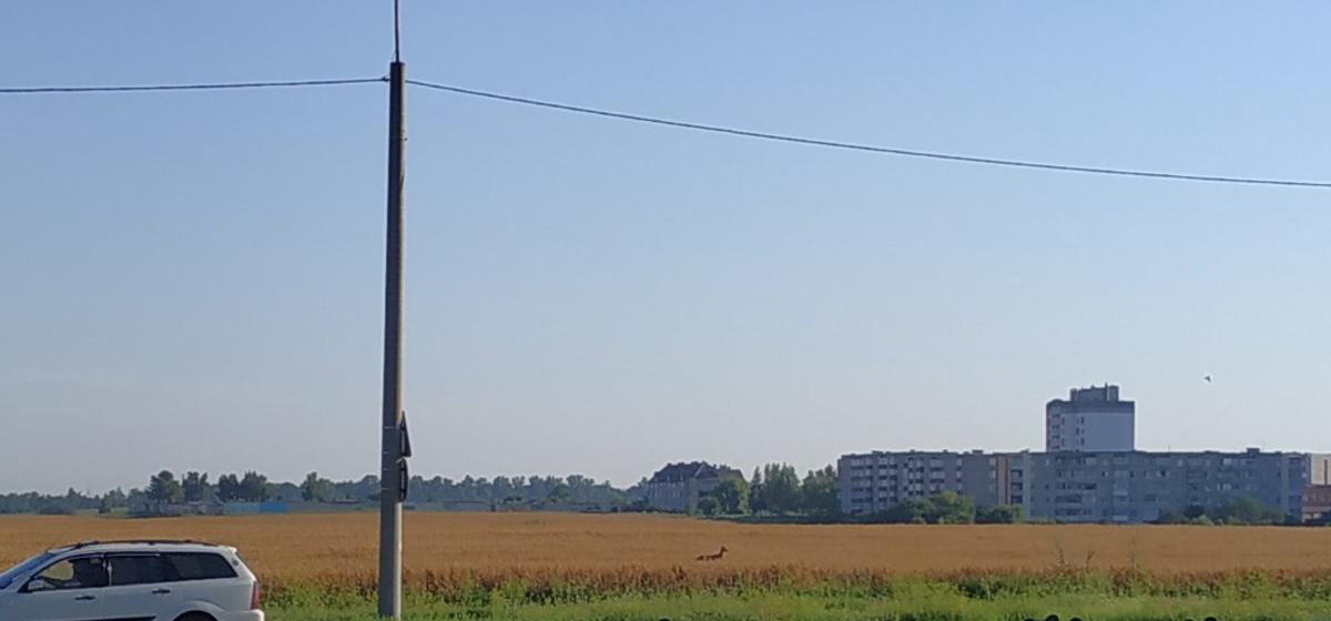 Любопытная косуля пришла в Барановичи