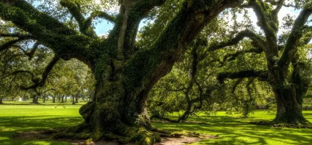 Интересные факты: Какое дерево в мире считается самым опасным