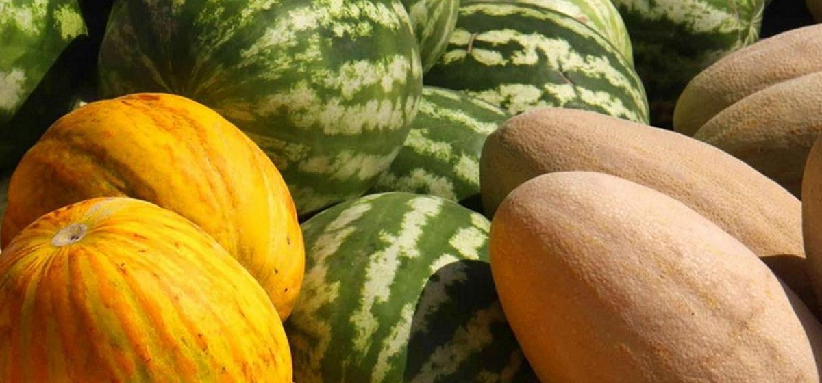 Зачем арбузу «коврик», рассказал барановичский агроном. Как вырастить арбуз в Беларуси