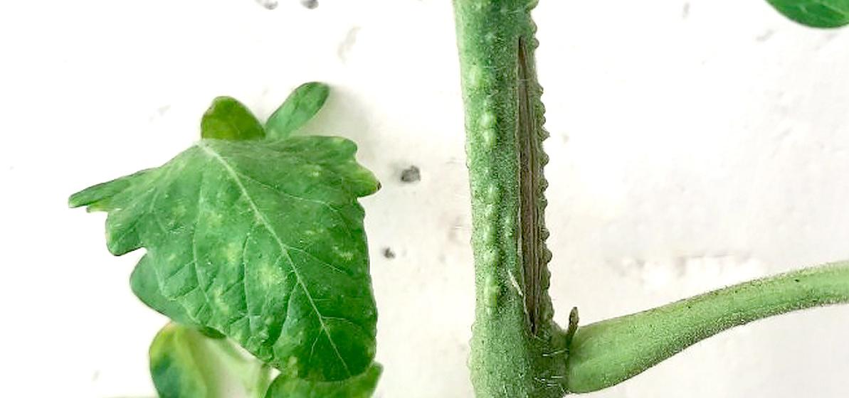 Почему образуются трещины на стебле томатов и как помочь растениям
