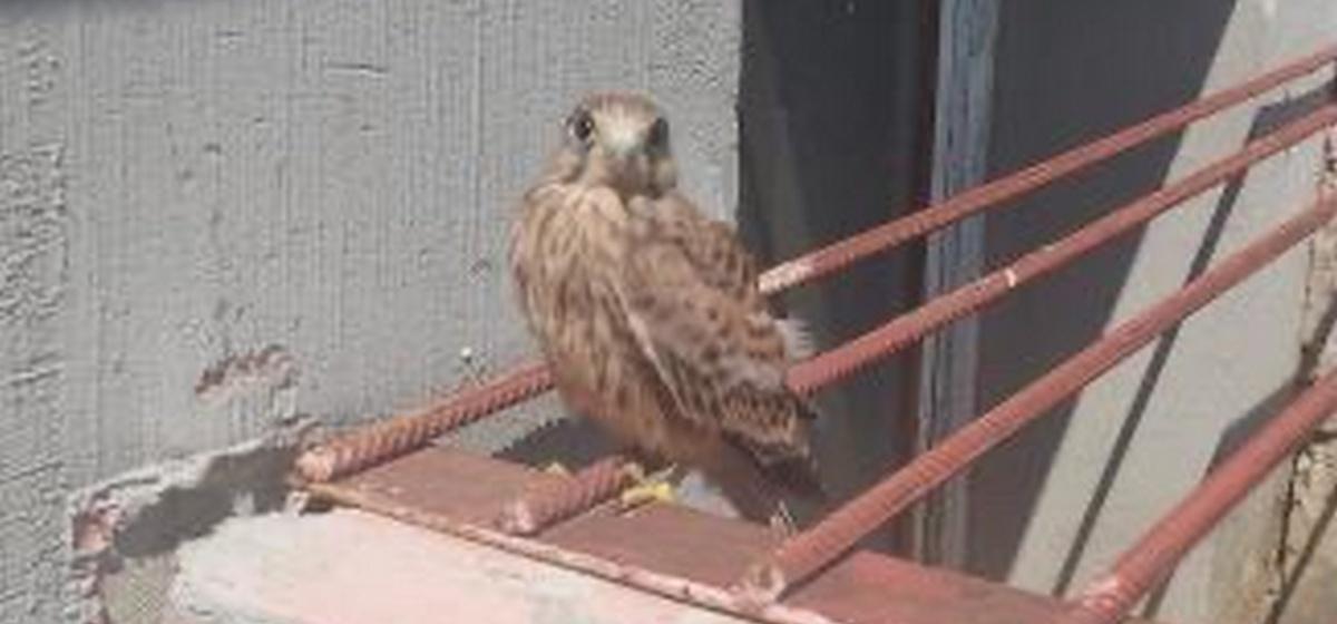 Птица, которую спасала жительница Барановичей, оказалась очень редкой. Что с ней стало