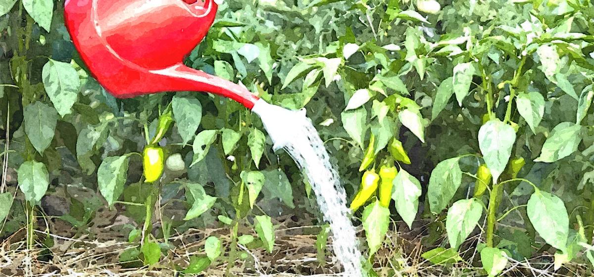 Как часто поливать перец в открытом грунте во время цветения