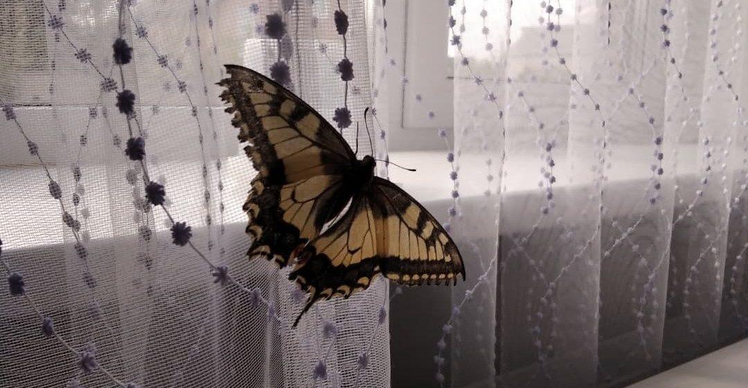 Большая и редкая бабочка залетела в квартиру в Барановичах