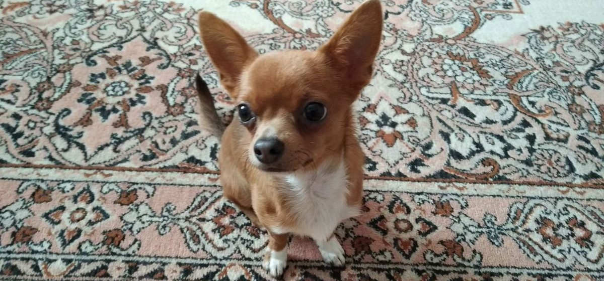 Зверье мое. Когда делать первую прививку щенку и как часто нужно вакцинировать собак?