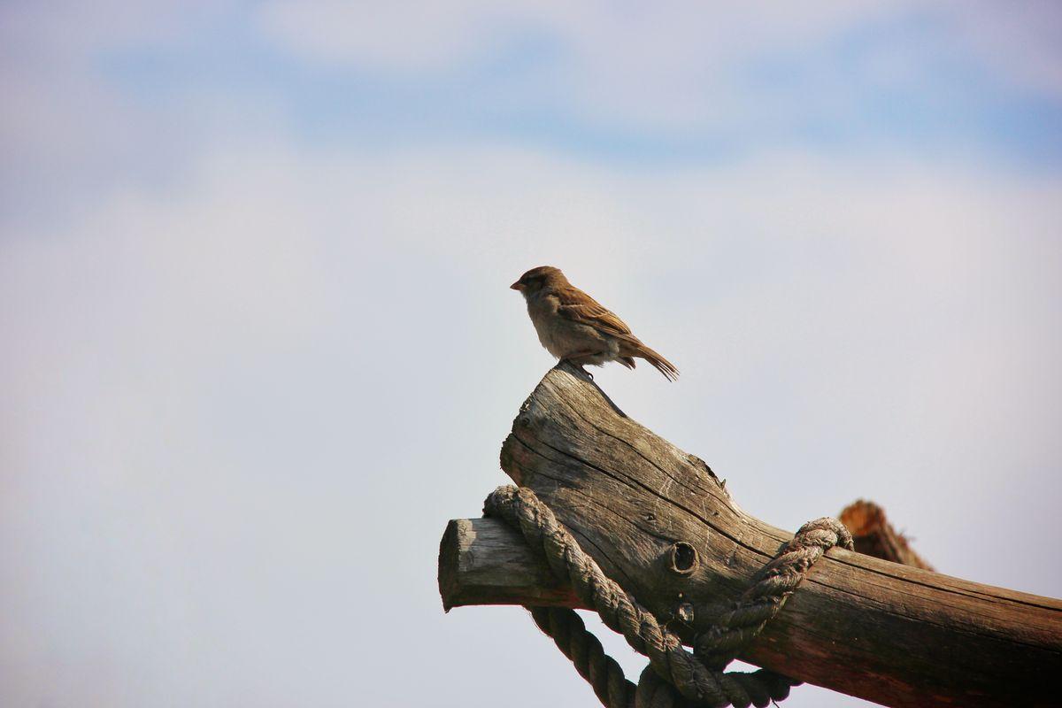 воробей птица