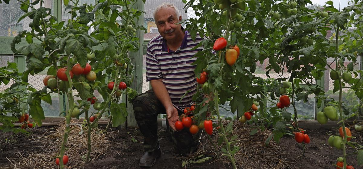 Зачем у помидоров в теплице срезать листья и верхушки в конце августа?