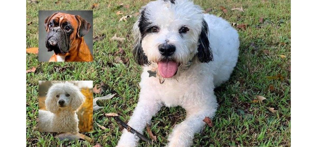 ТОП-12 гибридных пород собак, о которых вы вряд ли слышали