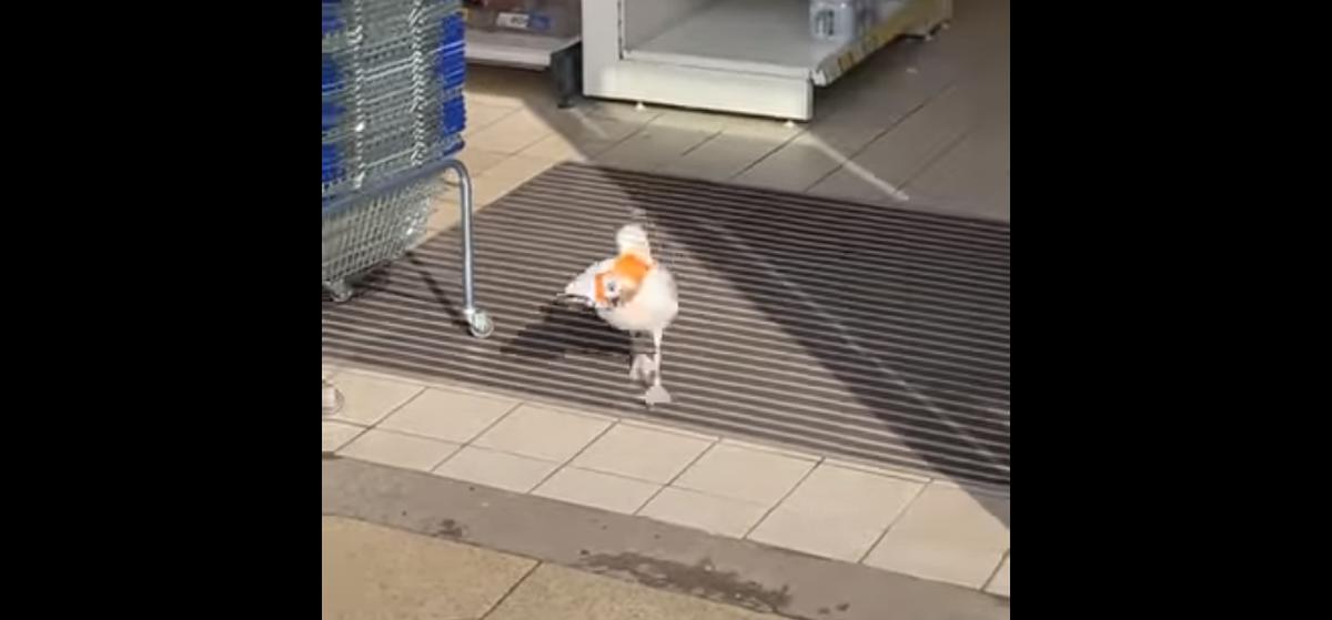 В Англии чайка ограбила супермаркет. Это уже второй налет за пару месяцев