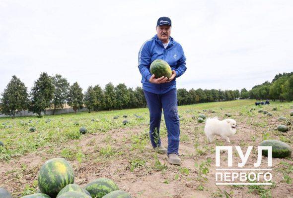 Фотофакт. Как Лукашенко собирает урожай арбузов на своем подворье