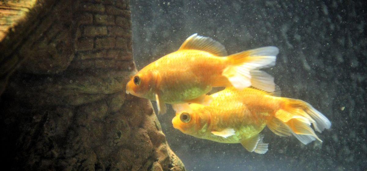 Скат, пиранья и даже аксолотль. Выставка аквариумных рыб открылась Барановичах. Фоторепортаж
