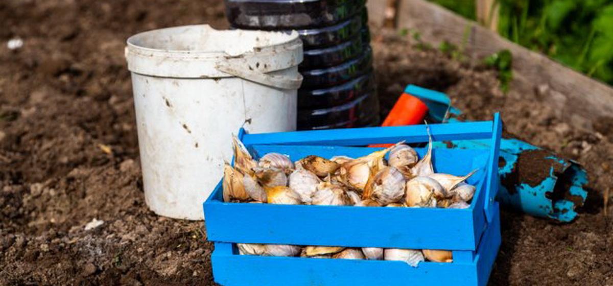 Как посадить озимый чеснок: инструкция для новичков