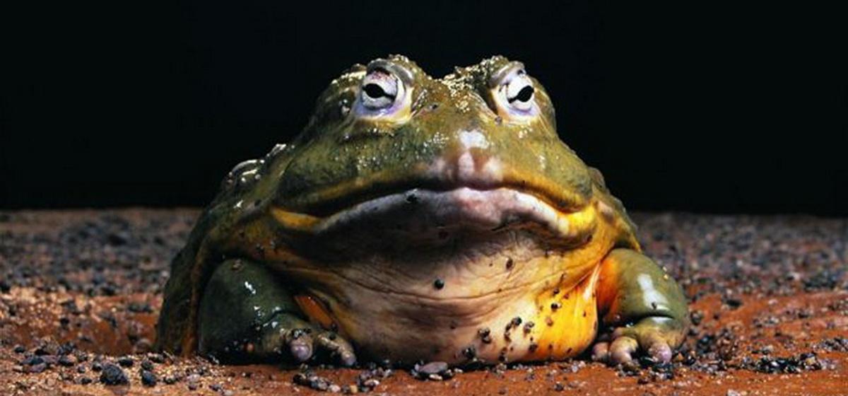 Интересные факты. Какая лягушка является самой большой в мире
