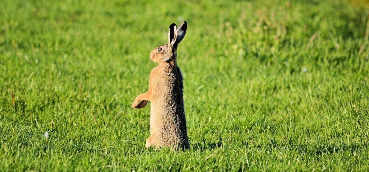 Сезон охоты на зайца начинается в Беларуси, но есть ограничения