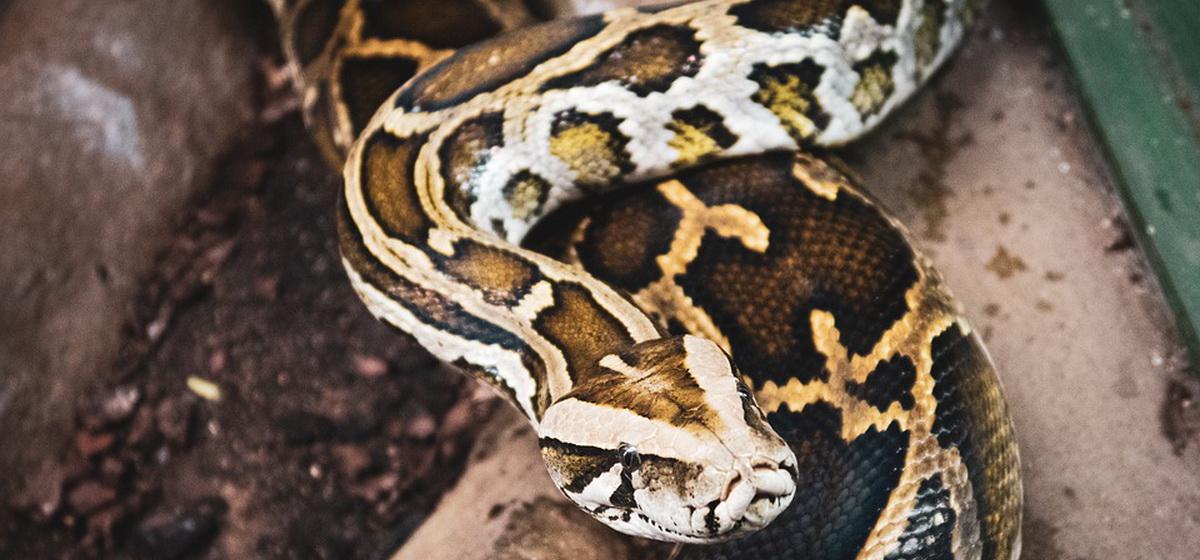Интересные факты. Какие виды змей считаются самыми крупными на планете