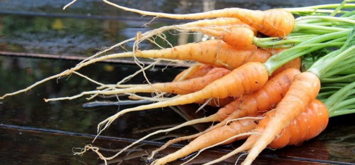 Почему выросла мелкая морковь и куда ее девать