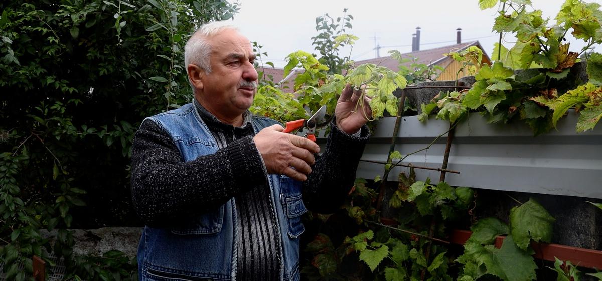 Чем необходимо обработать виноград осенью и почему лоза при этом должна быть голой?