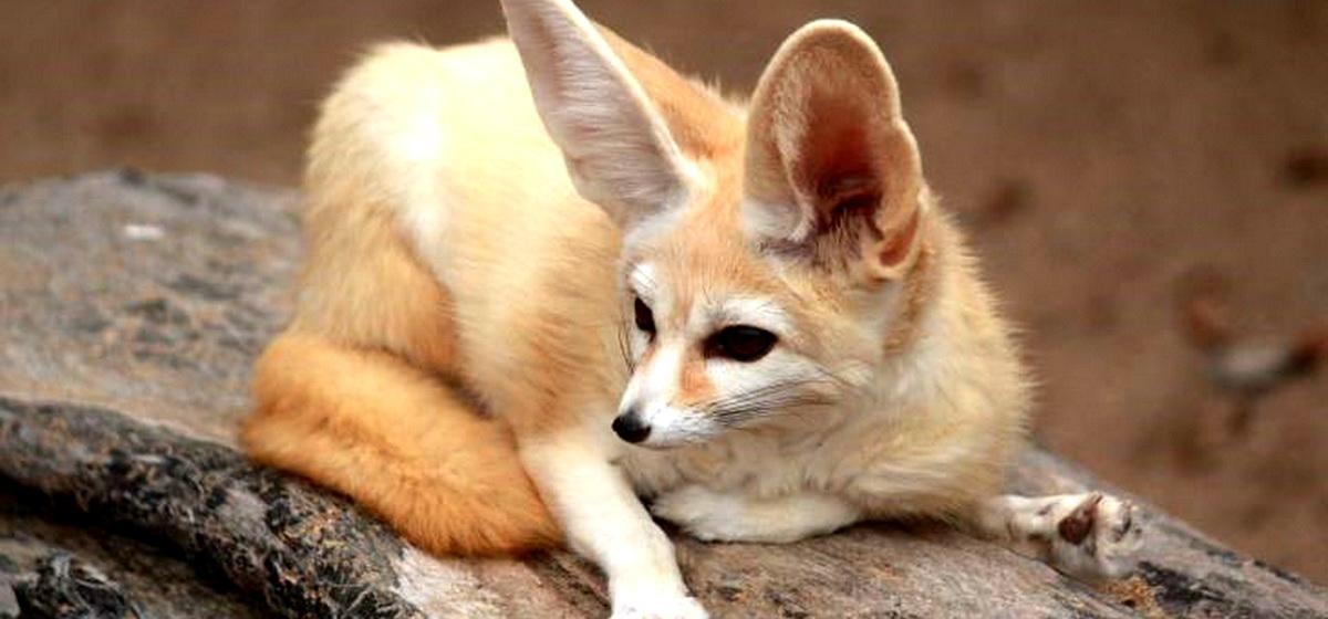 Интересные факты. Какая порода лисиц является самой миниатюрной на земле