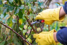 Как правильно обрезать розы разных сортов на зиму